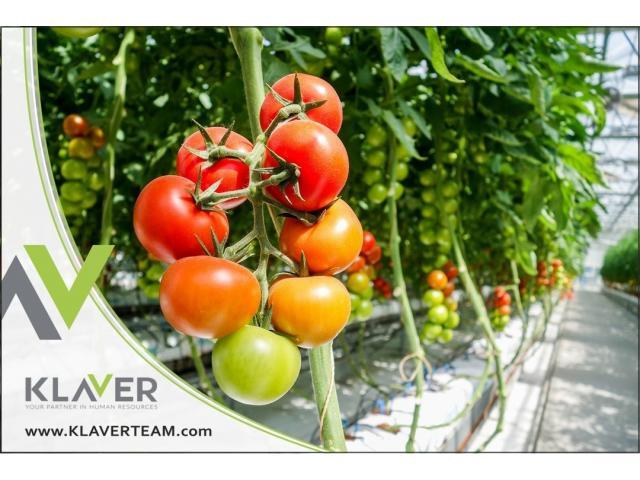 Holandia (Westland), szklarnia z pomidorami, praca od zaraz
